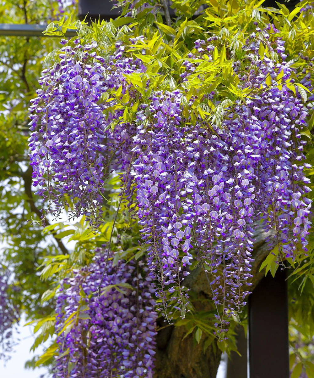 Cottage Farms Direct Live Wisteria Amethyst Falls Tree