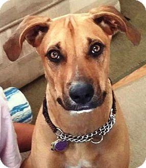 Gilbert Az Vizsla Black Mouth Cur Mix Meet Cooper A Dog For