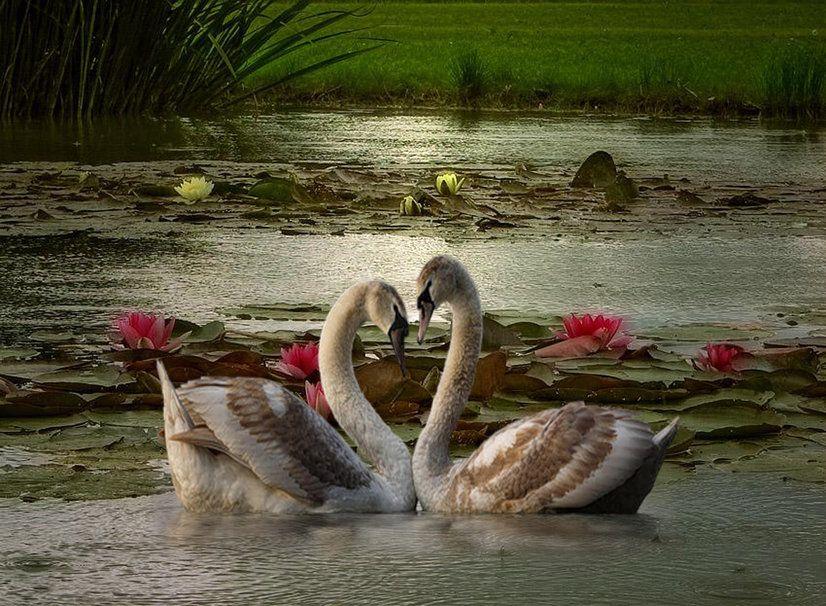 Beautiful Swan Wallpapers