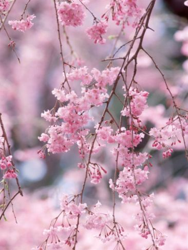 Weeping Cherry Tree Photographic Print At Art Com Weeping Cherry Tree Cherry Tree Pretty Trees