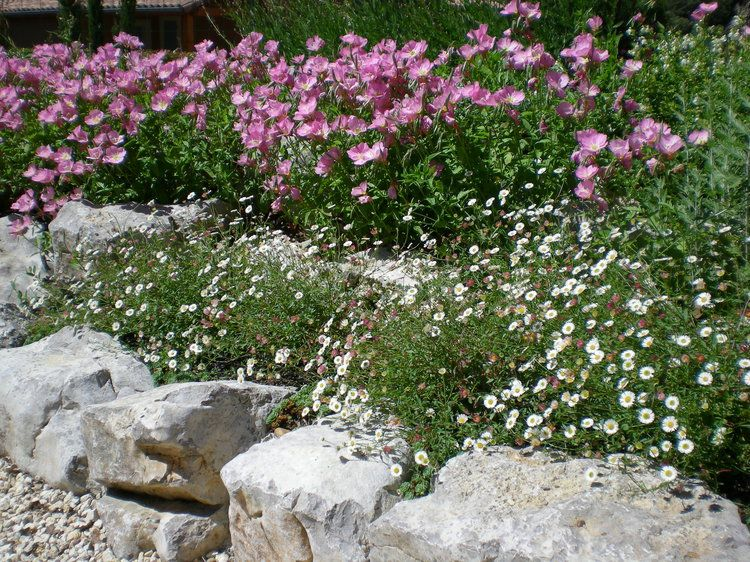 onagres et petites marguerites | déco, bouquets et roses