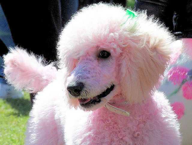 Pink Poodle This Pink Poodle Took Part In The Pet Fashion Show At The 2007 Cherry Blossom Festival In Macon Georgia P Poodle Dog Pink Poodle Poodle