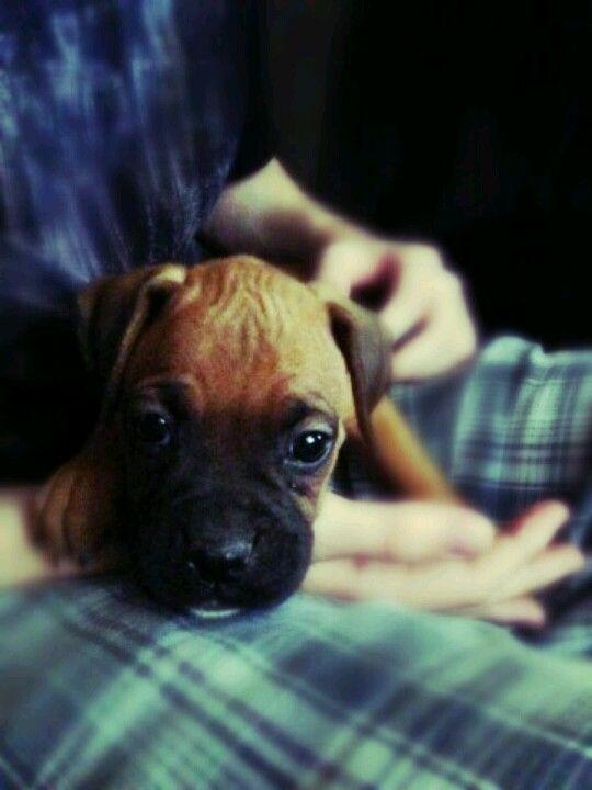 Boxer puppy <3