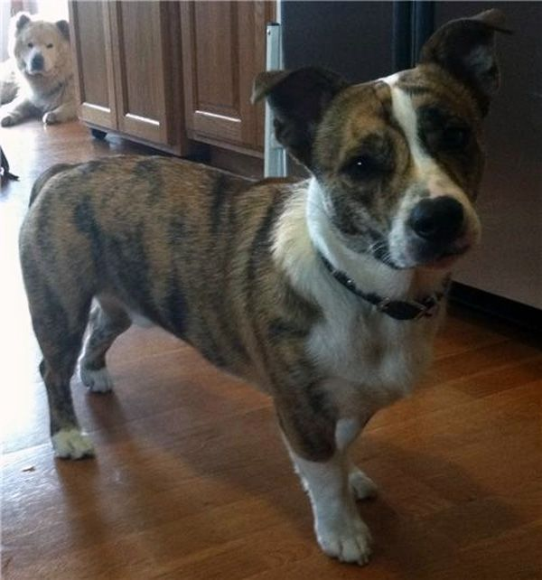 American Bulldog Corgi Mix Perfect Dog Corgi Cross Breeds