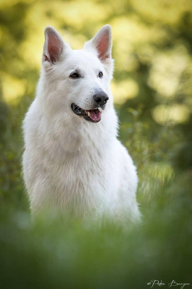 Pin By Dog Zone On German Shepherd Dogs White Wolf Dog White German Shepherd Cute Husky Puppies