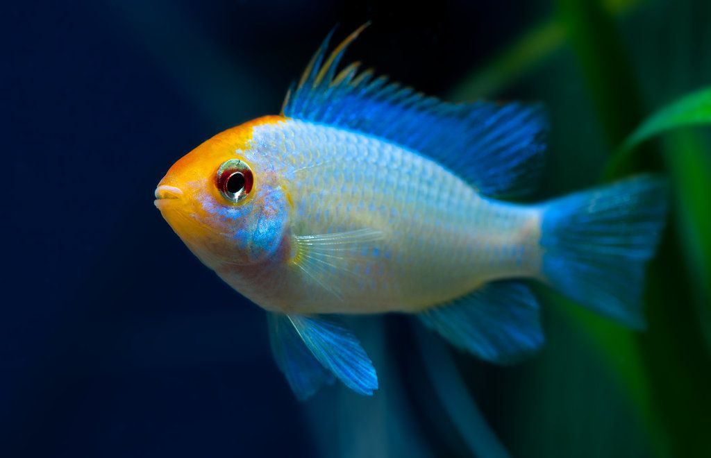 Ramirezi Golden Blue Cool Fish Aquarium Fish Beautiful Fish