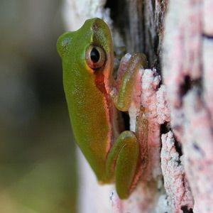 Squirrel treefrog (Hyla squirella) call - Louisiana