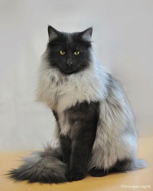 Kayti You Should Get This Cat Black Smoke Norwegian Forest Cat