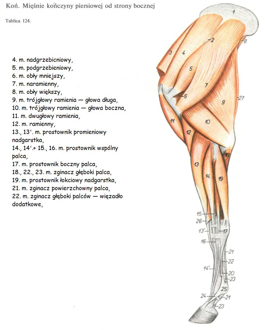 Pin On Anatomia Konia