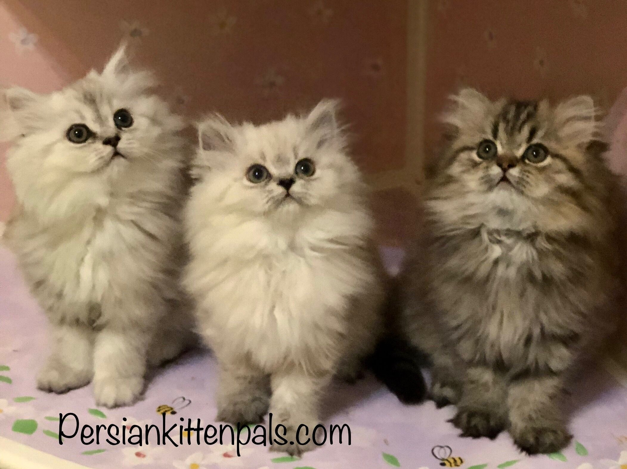 Look For My Beautiful Persian Kittens In Neiman Marcus Fine Jewelry Ads In May Designer Margot Mckinney Jewe Persian Kittens For Sale Kittens Persian Kittens