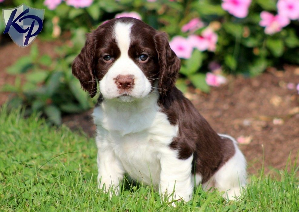 Puppy Finder Find Buy A Dog Today By Using Our Petfinder Springer Spaniel Puppies English Springer Spaniel Puppy Spaniel Puppies