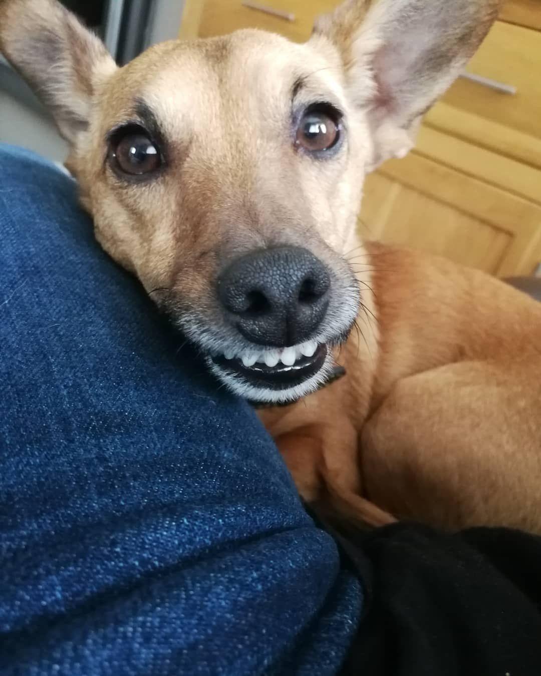 Smile Dog Smiling Teeth Cute Jackshundsofinstagram