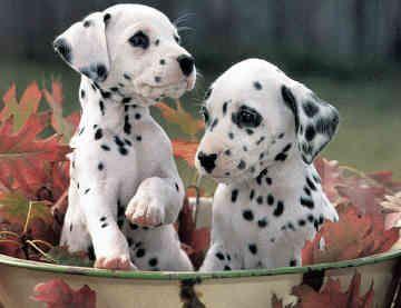 Dalmatians :)