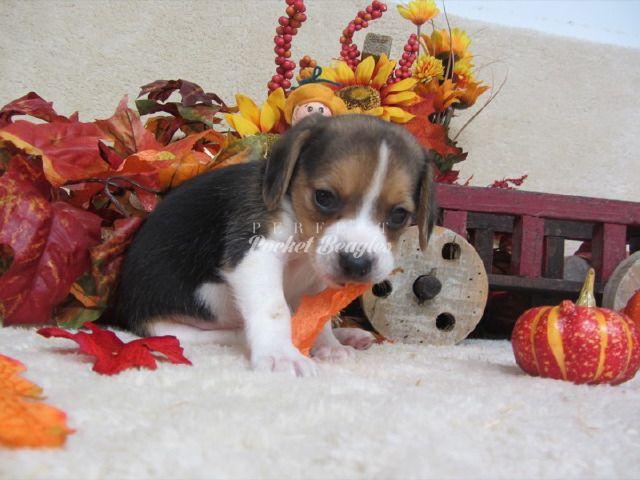 Olde English Pocket Beagle Puppy Www Perfectpocketbeagles Com My