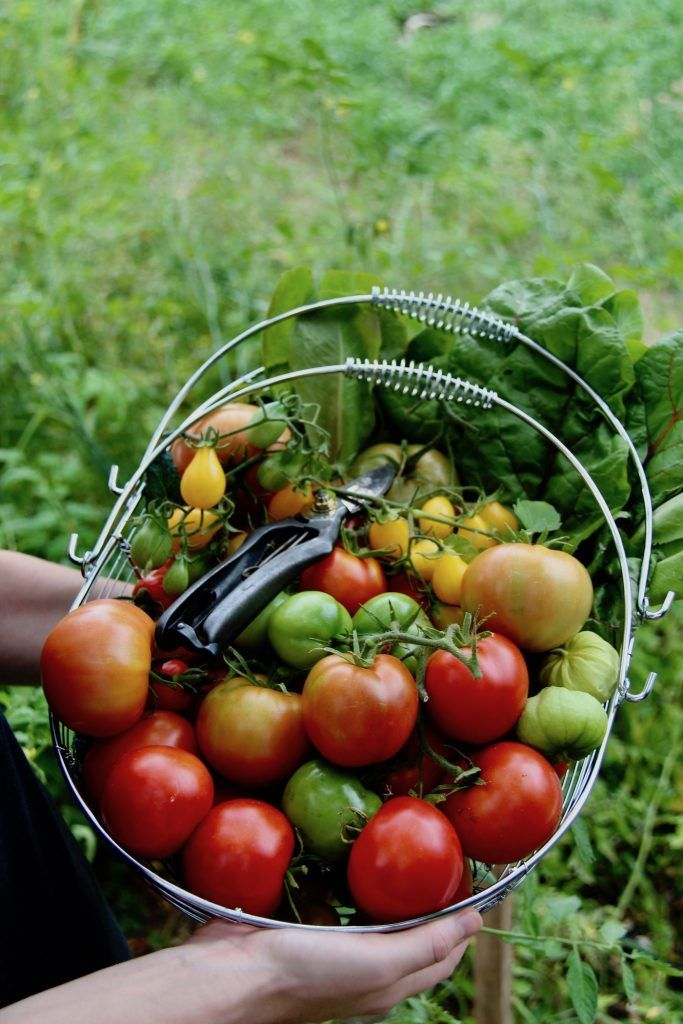How to Grow Tomatoes  Home for the Harvest How to Grow Tomatoes  The Ultimate Guide to Growing Tomatoes in Your Garden Heres everything you need to know to grow delicious...