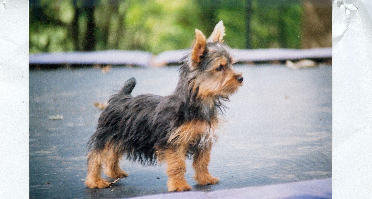 Silkie Terrier