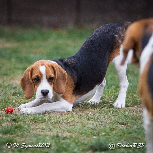 My Beagle Grace Protecting Her Tomato Beagles Are The Best