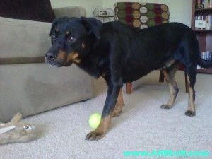 Pin On Rottweiler Mix