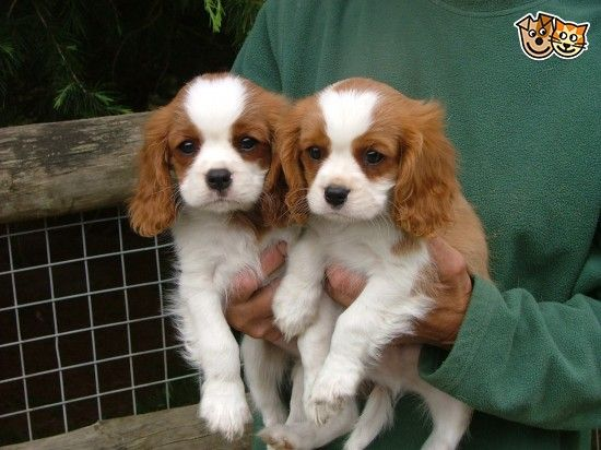 Cavalier King Charles Spaniel Puppies For Sale King Charles