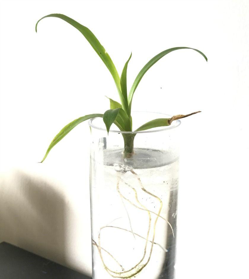 Plante Exterieur Qui Aime L Eau les petites boutures dans l'eau | boutures, bouture yucca et