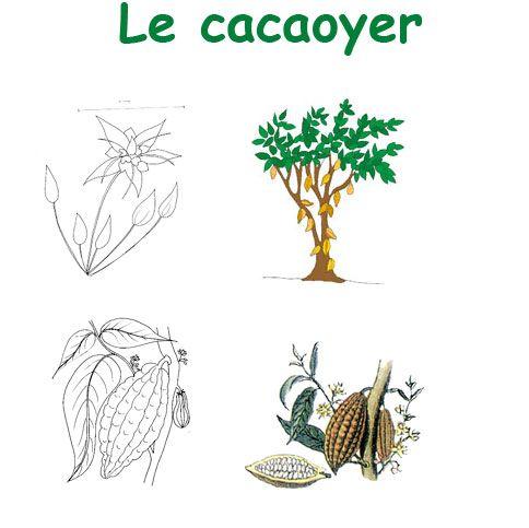 imprimer la planche sur le cacaoyer pour un herbier des arbres chocolats le chocolat et salon. Black Bedroom Furniture Sets. Home Design Ideas