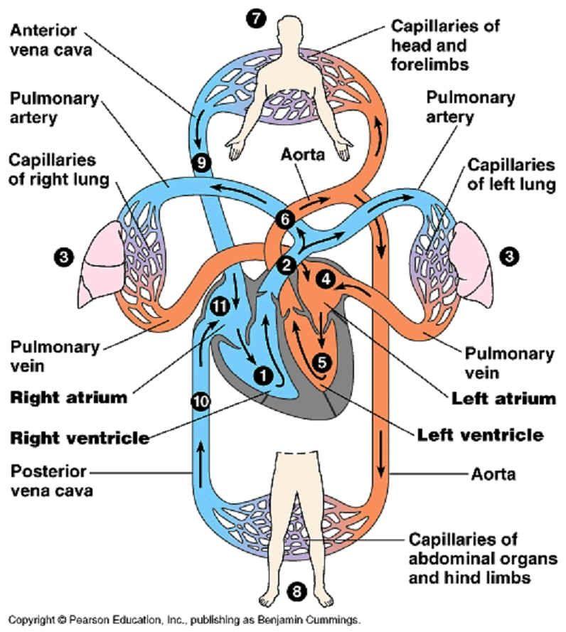 CIRCULATORY SYSTEM | Healthy Living Plan ( Cardiovascular System ...