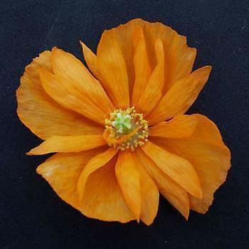 Spanish Poppy 'Tangerine Gem'