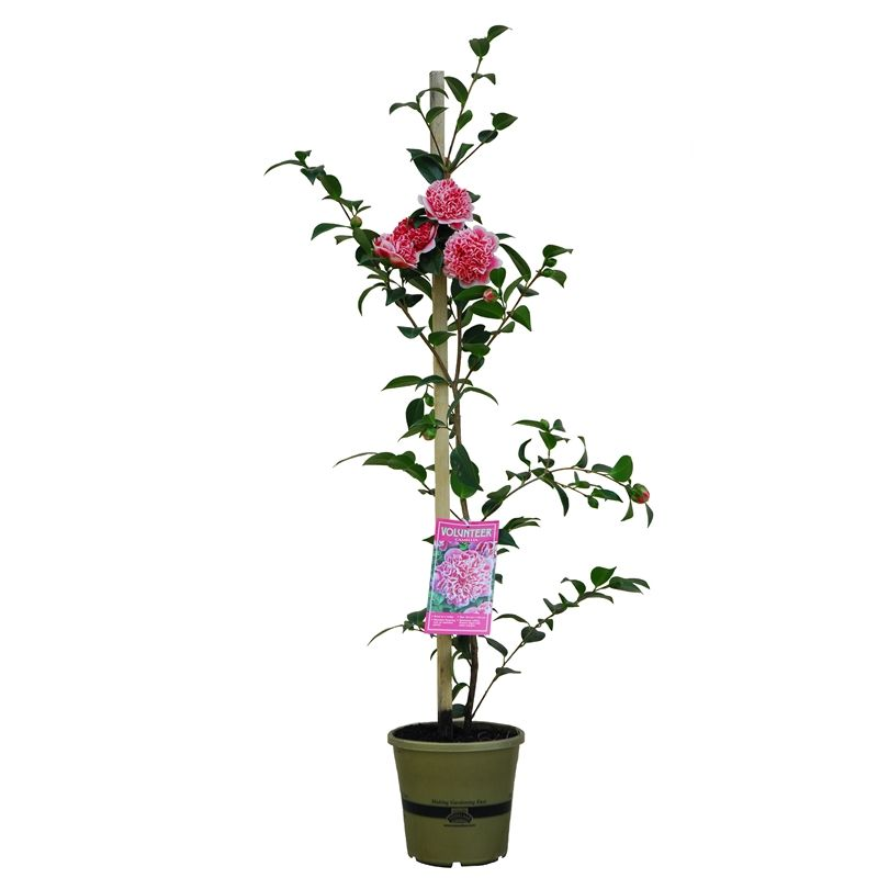 170mm Camellia Volunteer Camellia Hybrid Bunnings Warehouse In 2020 Planning Ahead Plants Green