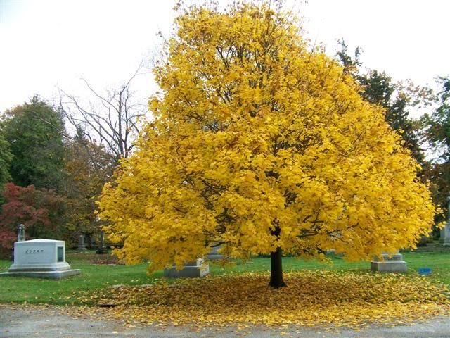 Acer platanoides norway maple on - Arce platanoide ...