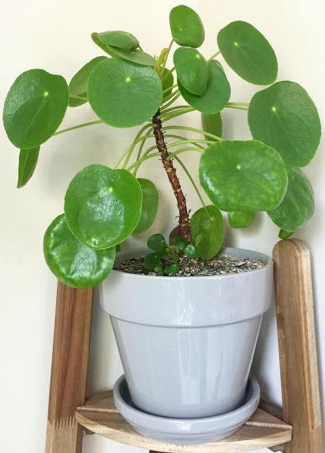 How To Care For Pilea Peperomioides Chinese Money Plant And Plants