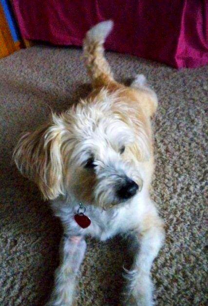 Scottie Poo 3 Scottish Terrier Poodle Too Cute Scottish