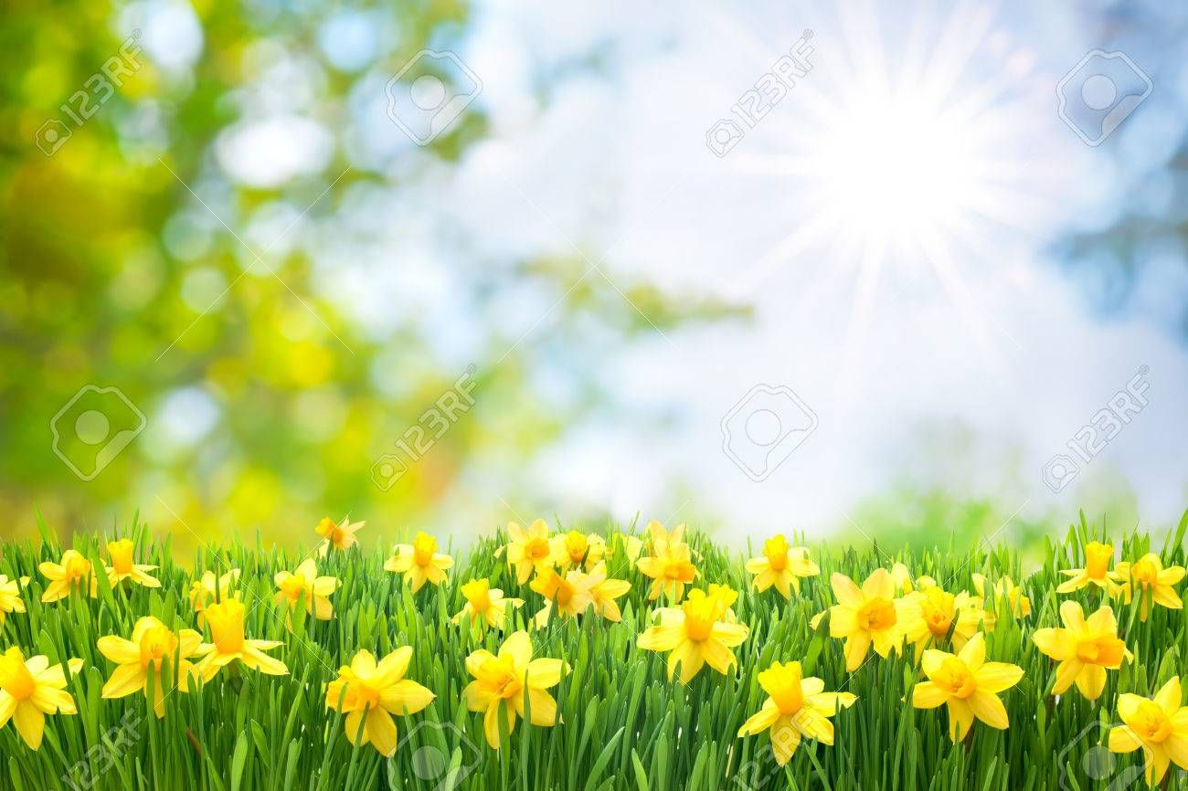Daffodils Background Full Screen Desktop Narcissy Vesna Cvety