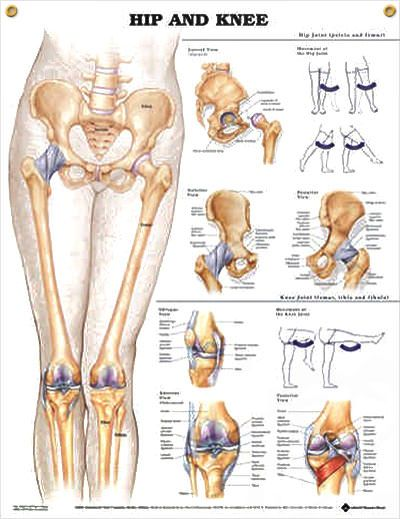 Hip And Knee Chart 20x26 Anatomy Physiology Pinterest