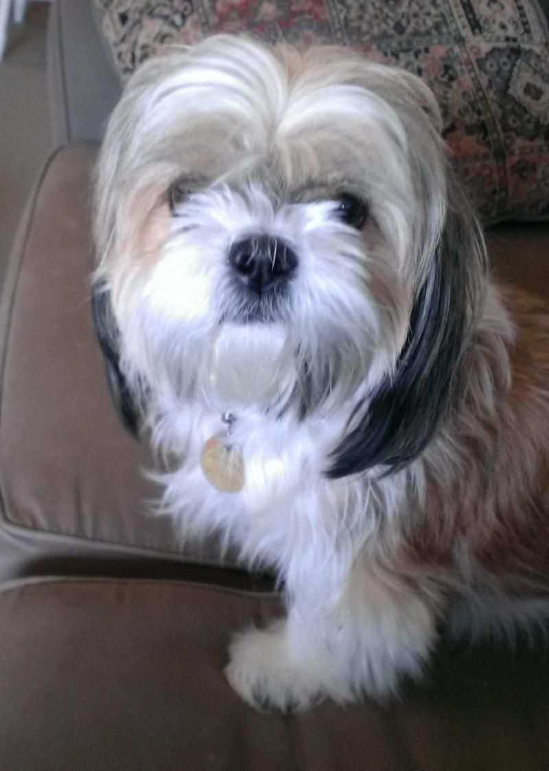 Adopt Gizou On Dogs Shih Tzu Dog Adoption