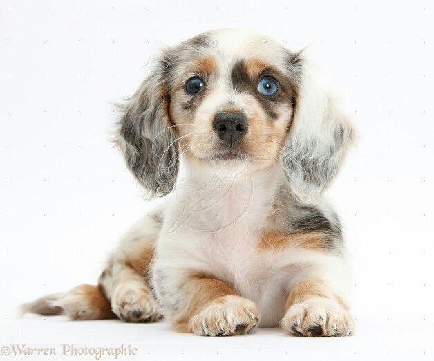 Long Haired Dapple Dachshund Dapple Dachshund Puppy Dog Photos