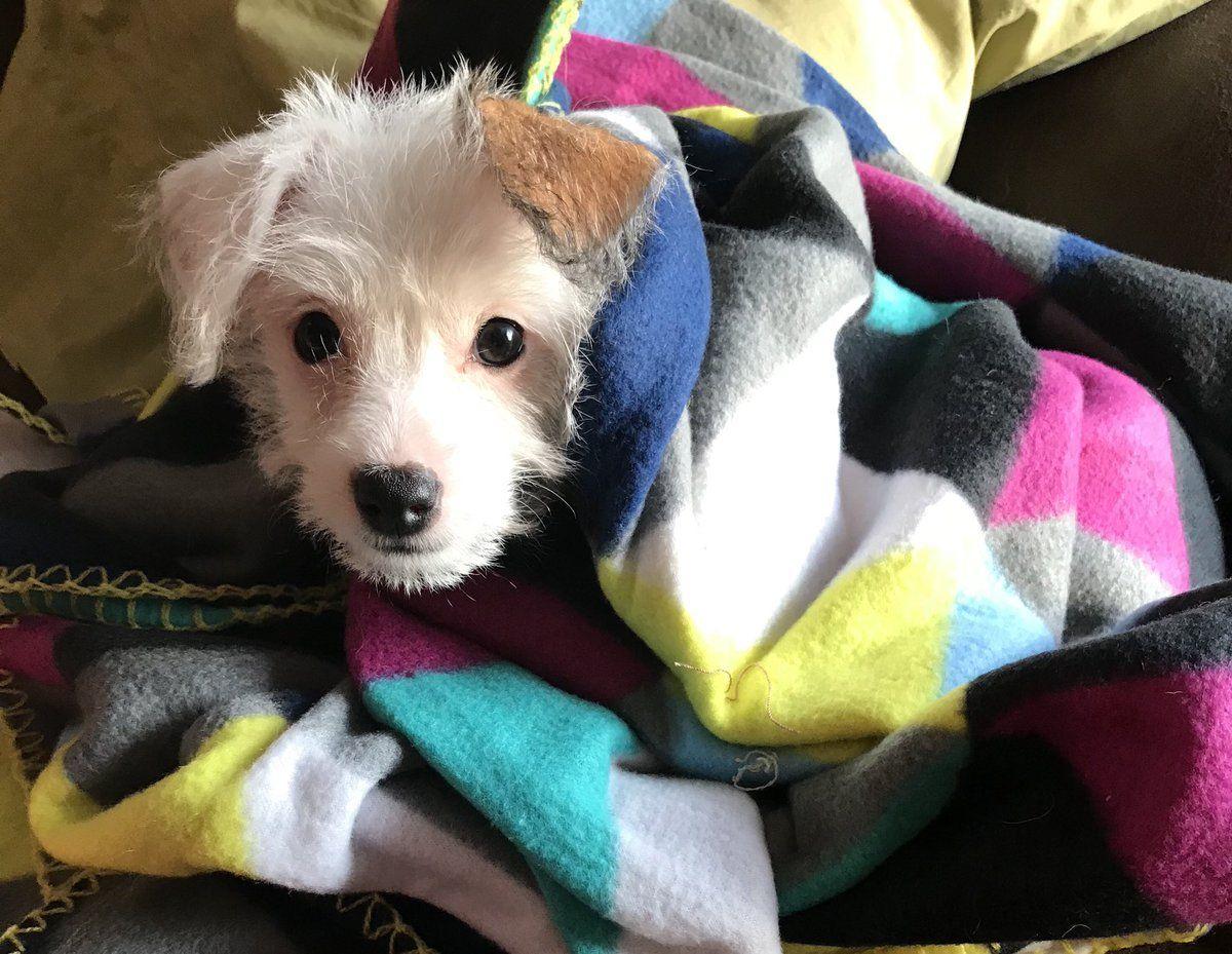 Hava Jack Jack Russell Terrier X Havanese Mix Jack Russell Terrier Jack Russell Russell Terrier