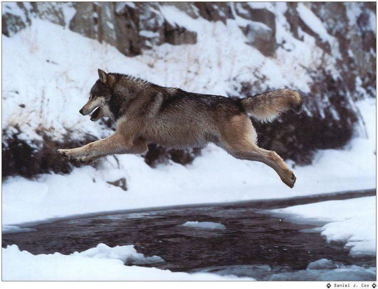 Fonds D Ecran Animaux Fonds D Ecran Loups Wallpaper N 38956 Par Hebus Hebus Com Chien Loup Loup Photographie Loup