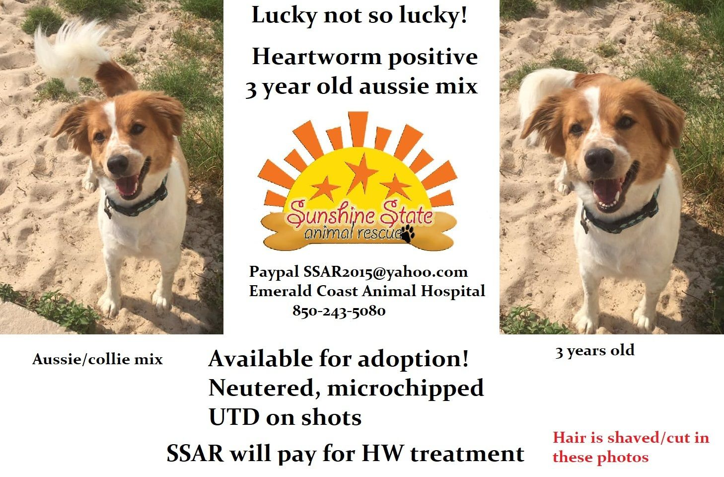 Adopt Lucky On Pets Needing Homes In Florida Australian