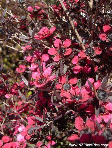 80b3bdf07b6 Leptospermum scoparium 'Electric Red'. A manuka with dark purple leaves and  striking scarlet flowers.