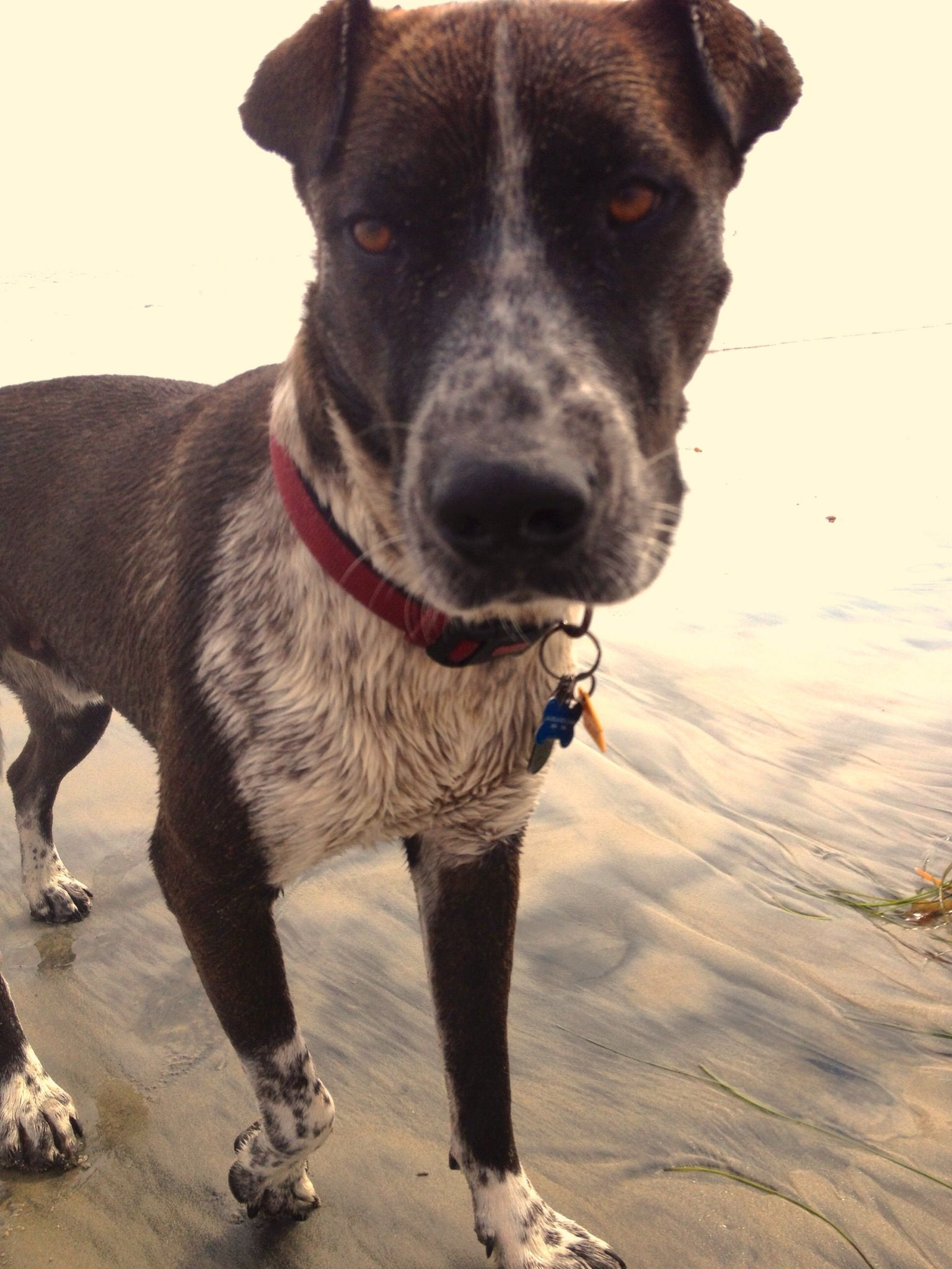 Rio The Pitbull Pointer And Catahoula Mix Best Dog Best
