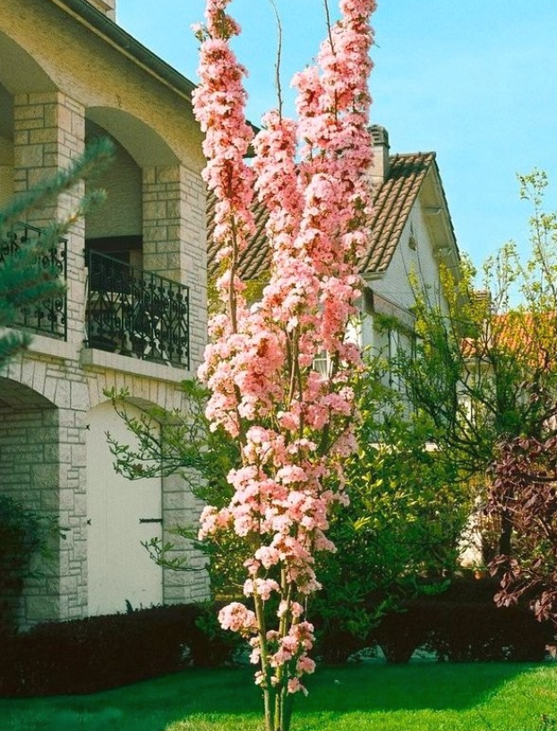 Japanese Flagpole Flowering Cherry Tree Prunus Amanagawa Garden Plants In 2021 Flowering Cherry Tree Japanese Garden Plants Cherry Plant