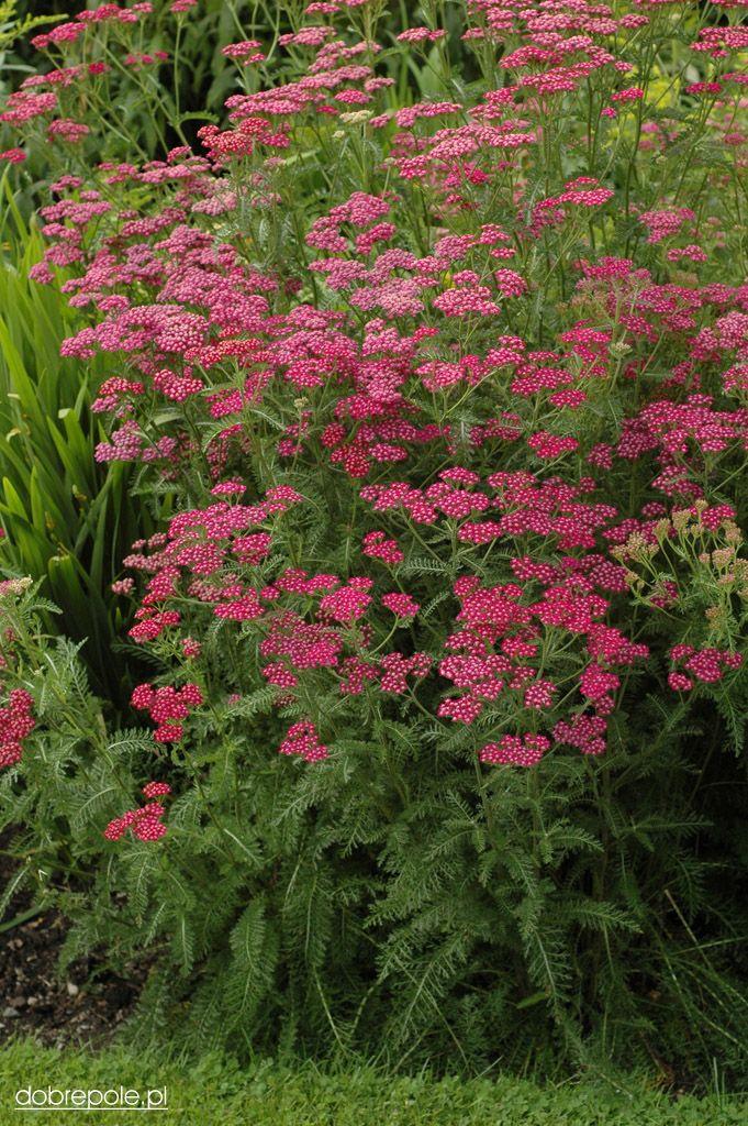 Achillea Millefolium Cerise Queen Popular Variety For Sun And Reasonably Dry Soil Achillea Millefolium Achillea Pink Perennials