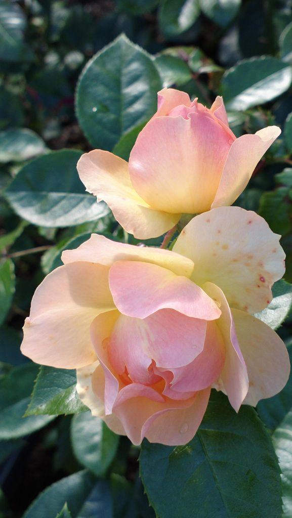 Fiori Bianchi In Pastella.Pastella Fiori Fiori Rosa E Composizioni Floreali