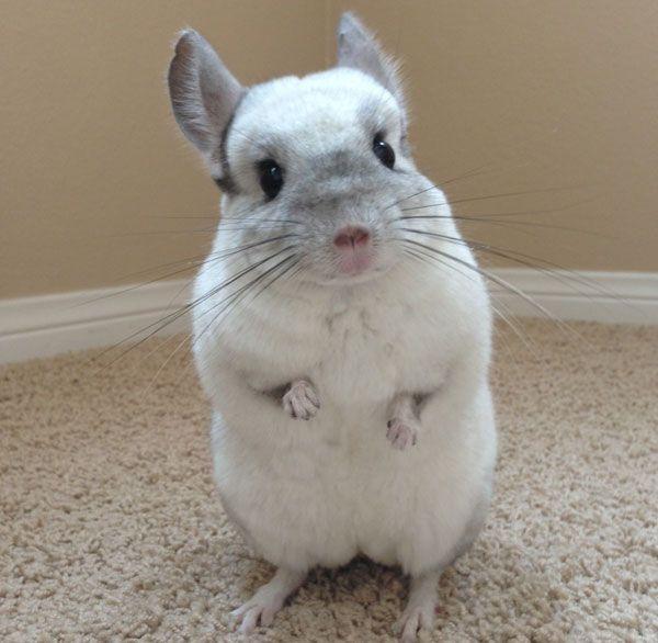 Mr Bagel Spreads Chinchilla Facts Pets Chinchilla Pet Small Pets