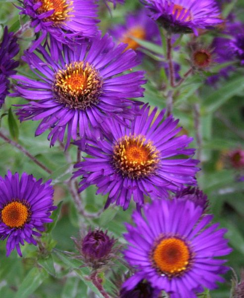 Buy New England Aster Symphyotrichum Novae Angliae Violetta Delivery By Crocus Co Uk Purple Plants Aster Flower Tall Plants