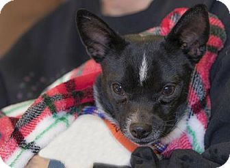 Pictures Of Brendon A Chihuahua Mix For Adoption In Colorado Springs Co Who Needs A Loving Home Pets Chihuahua Pet Adoption