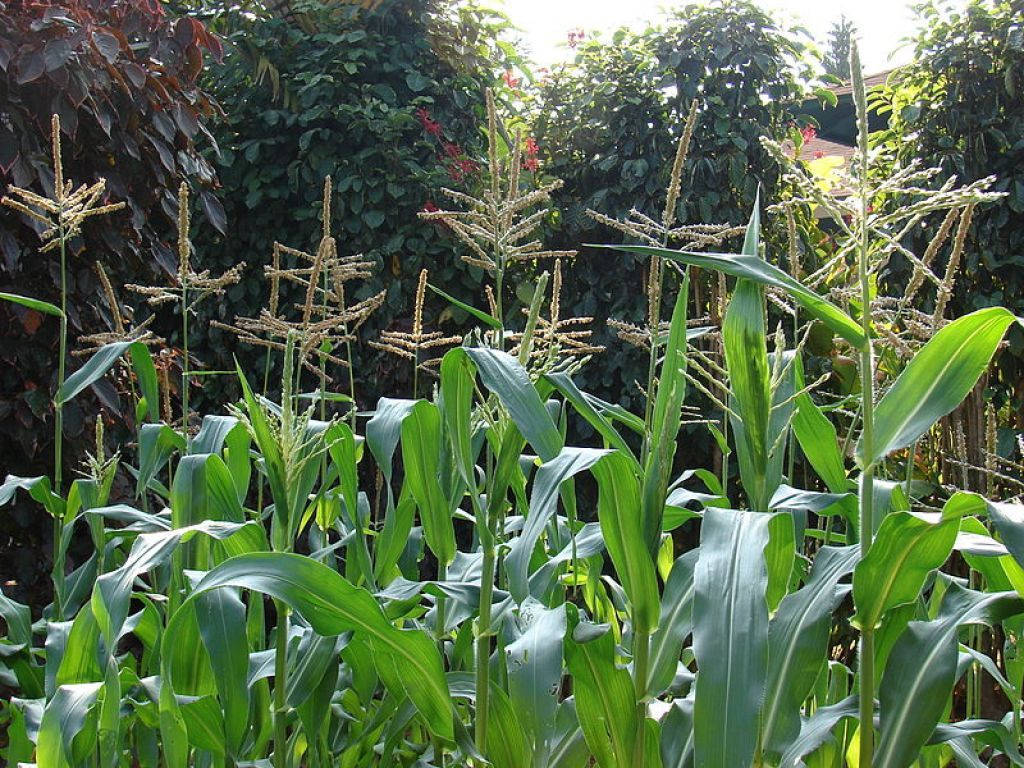 HotWeather Vegetable Plants For The Garden Corn plant Plants and