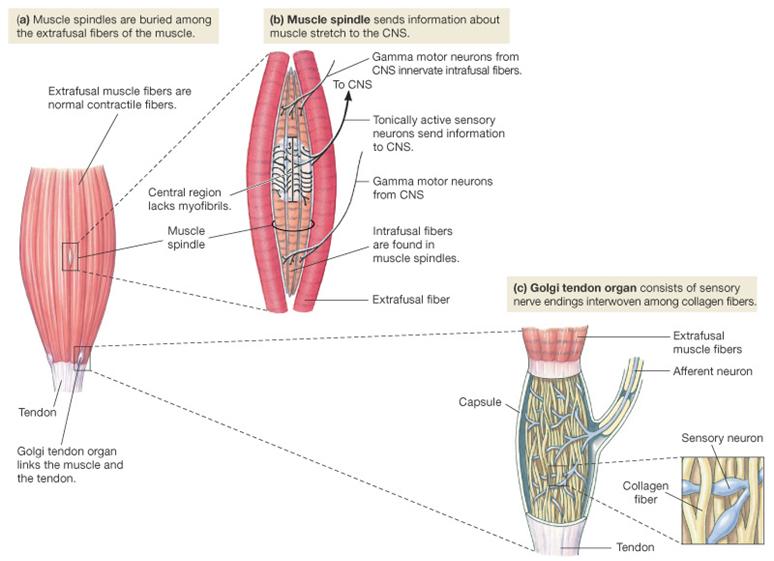 Skeletal Muscle Reflex Sensory Receptors   Proprioceptors   Human ...