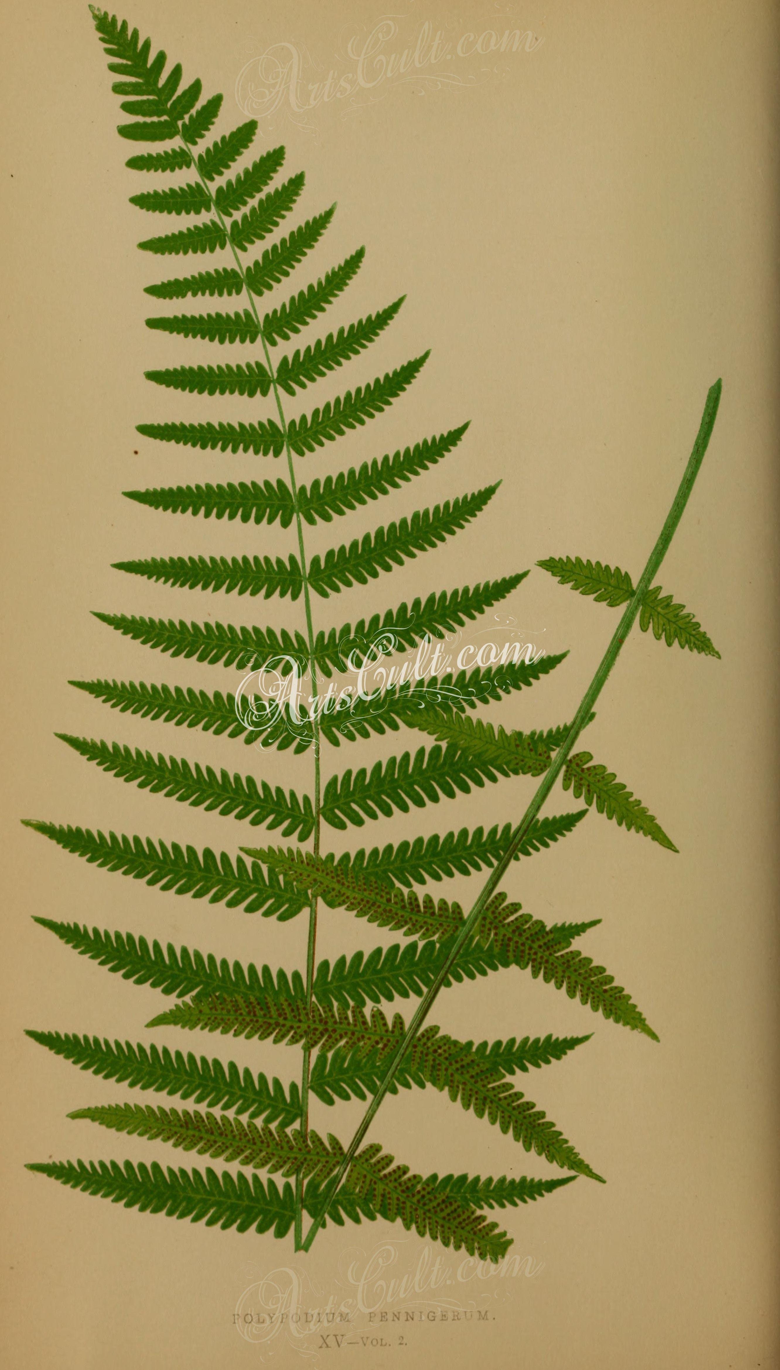 polypodium pennigerum (L) ... | ArtsCult.com | Pinterest