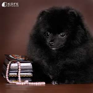 She Looks So Regal And Confident Pomeranian Puppy Black